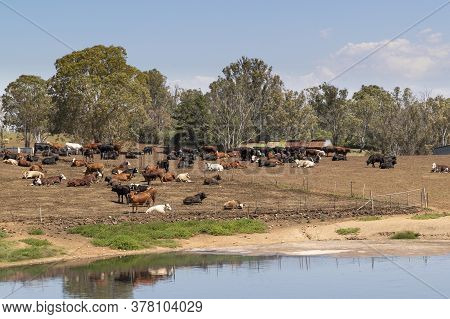 A Herd Of Dairy Cows Resting On Brown Dirt Near The Milking Shed In Front Of A Creek On A Hill.