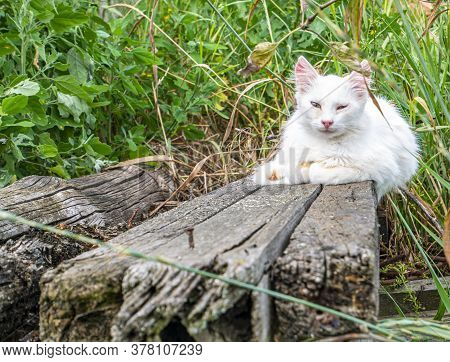 White Cat Lies On A Wooden Board. Kittens. Domestic Cat. Pets. A Family Of Carnivorous Felines. Home