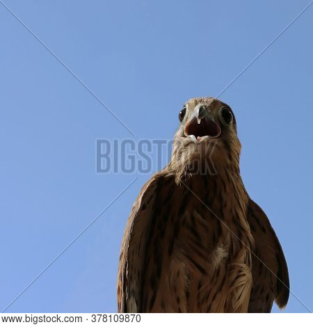 A Wild Bird, A Kestrel With An Open Beak. Falcon Close-up Against The Blue Sky. The Beak And Eyes Of