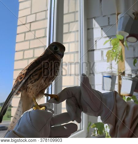 A Ringed Kestrel Sits On A Person's Hand. Hand-held Falcon On The Background Of The Window. Banding