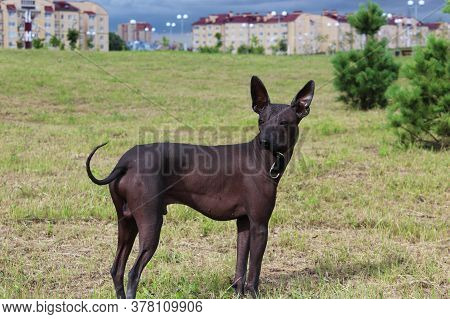 A Big Black Dog In A City Park In The Summer. A Pet On A Walk. Hairless Dog, Thoroughbred. The Dog H