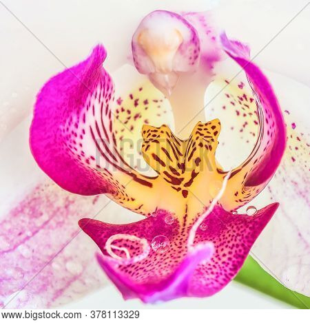 Beautiful  Purple Phalaenopsis Orchid Flower, Known As Fluttering Butterflies, Against A White Backg
