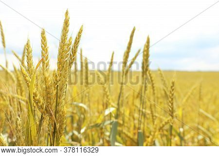 Agricultural Field With Ripening Cereal Crop On Cloudy Day, Closeup