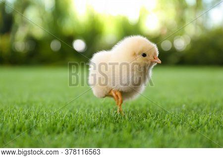 Cute Fluffy Baby Chicken On Green Grass Outdoors