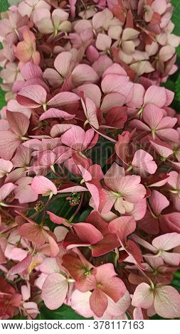 Hydrangea, Soft Focus, Noise Added. Beautiful Flowers. Large-leaved Hydrangea - Bush Close-up Photo