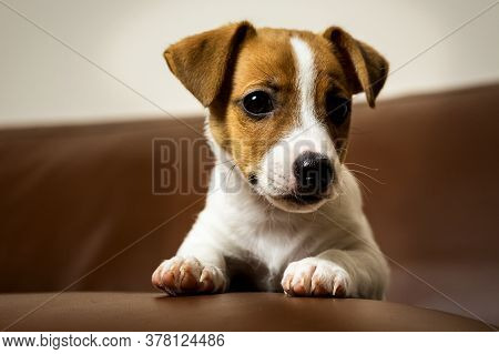 Jack Rassell Terrier Puppy, Cute Animal Photo