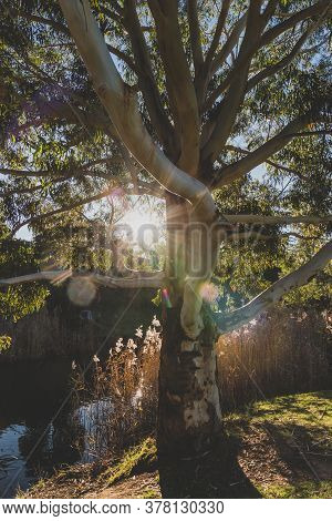Native Australian Gum Tree With Sun Shinging Through And Small River With Ducks Next To It Shot In R
