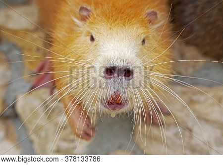 Coypu (myocastor Coypus), Also Known As River Rat Or Nutria