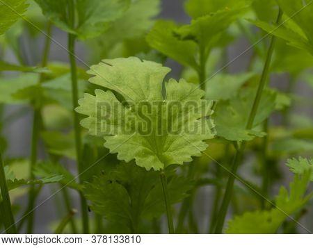 Closeup Of A Green Leaf On A Coriander Plant, Variety Calypso
