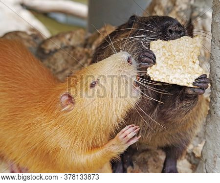 Black Coypu Or River Rat Or Nutria Eating A Ccookies