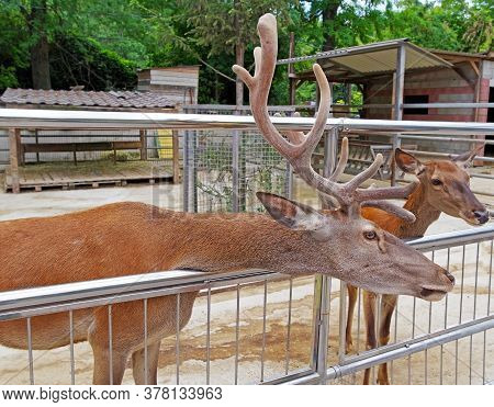 Deer With Big And Beautiful Antlers In The Zoo