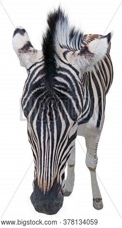 Head Of A Beautiful African Zebra On A White Background