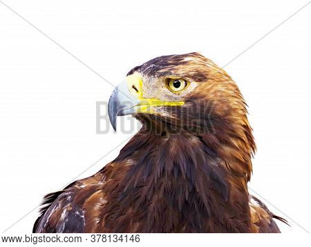 The Beautiful Mountain Eagle On White Background