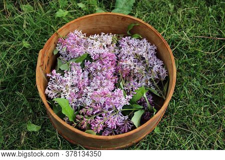 Inflorescences Of Lilac In Wooden Vase Are On The Grass. View From Above.