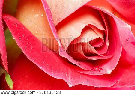 Beautiful Red Yellow Rose With Dew Drops. Perfect For Greeting Card Background.