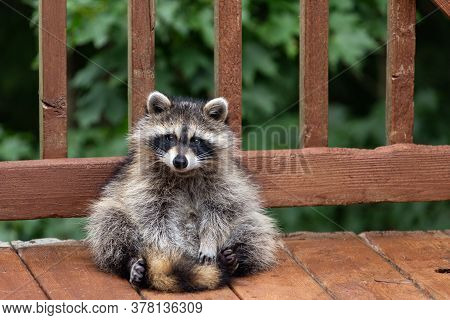 Baby Raccoon Sitting On Weathered Wooden Deck.