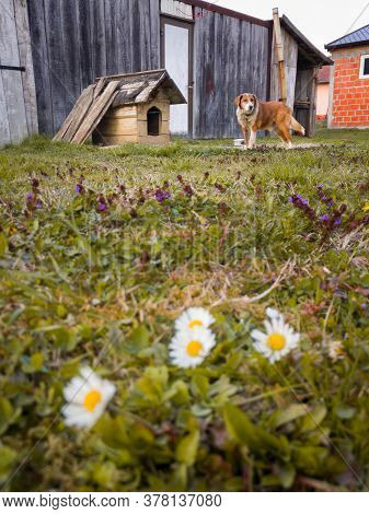 White Wild Flower In Front And Adorable Dog Stands In Front Of Dog House In Garden During Spring Day