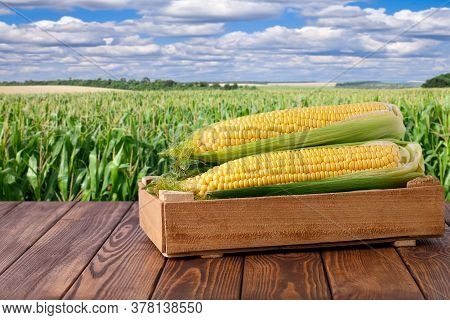 Fresh Corn Cobs In Box On Wooden Table With Green Maize Field On The Background. Agriculture And Har
