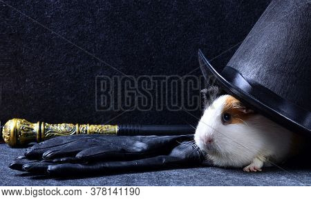 A White Guinea Pig Under A Black Tall Hat With Leather Gloves And A Magic Knobbed Cane On A Dark Cop