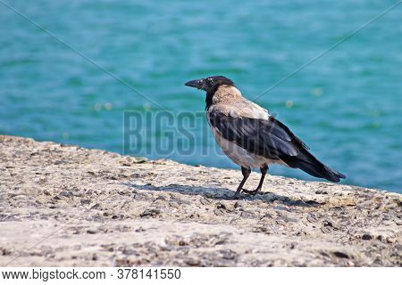 Crow On The Seashore. The Sea As A Background