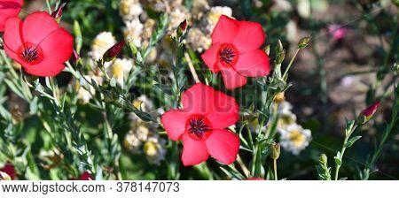 Red Flower Flax (latin. Línum)