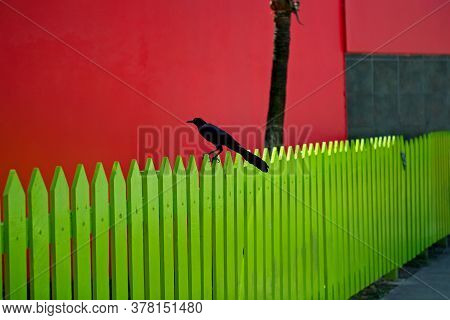 Great-tailed Grackle Black Bird On Yellow Wooden Picket Fence With Bright Red Building In Belize Cit