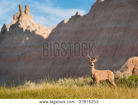Mule Deer (Odocileus hemionus) With Badlands Background