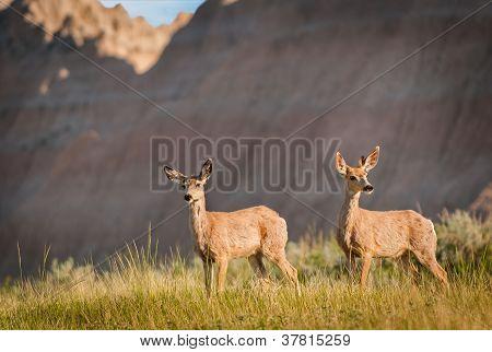 Pair Of Mule Deer (Odocileus hemionus) With Badlands Ridgeline