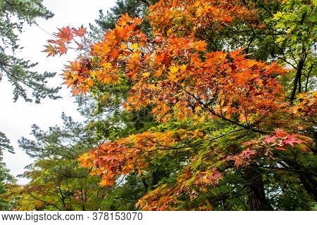 Maple (acer) Tree Branch With Orange Vivid Autumn Leaves In Kenroku-en Garden In Kanazawa, Japan.