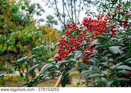 Ardisia Crenata (christmas Berry, Coral Berry) Red Fruits And Dark Green Leaves, Native To East Asia