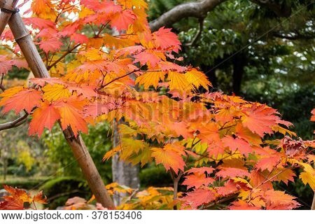 Saturated Red And Orange Japanese Maple (acer Palmatum) Autumn Leaves In Kenroku-en Park In Kanazawa