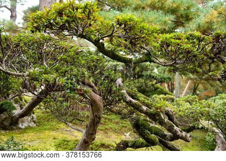 Green Bonsai Tree With Branches Covered With Moss In Kenroku-en Park In Kanazawa, Japan, Novemeber.