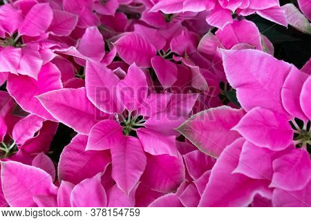 group of pink poinsettia flowers at home