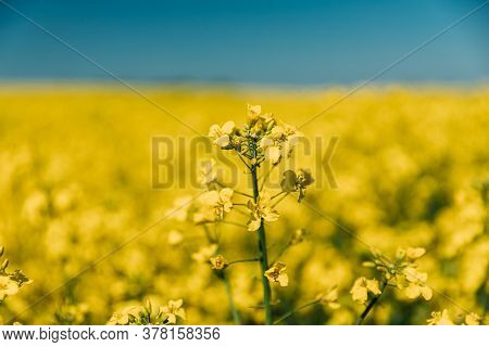 Close Up Of Blossom Of Canola Colza Yellow Flowers Under Blue Sunny Sky. Rapeseed, Oilseed Field Mea