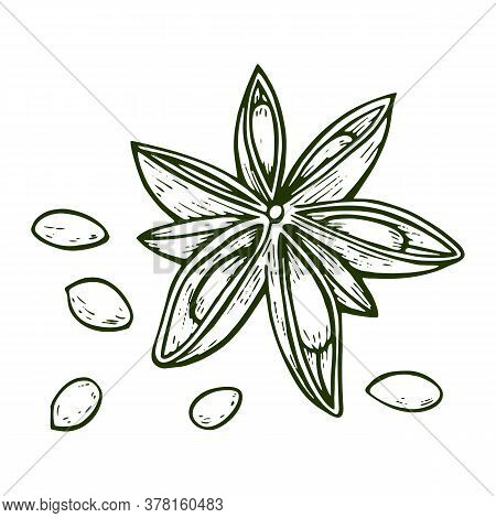 Hand Drawn Anise Star Flower Seed Plant . Sketch Illustration. Spicy Herbs. Star Anise Doodle Design
