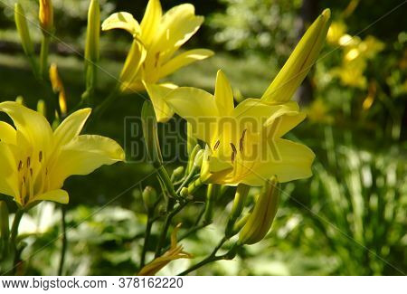 Flowers. Yellow Daylily Flower Close-up. Delicate Yellow Daylily Flower On A Green Background. The C