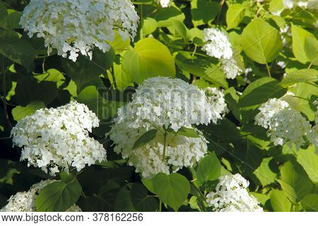 Floral Background. White Hydrangea Inflorescences In The Early Morning In The Garden. Sun Rays Fall