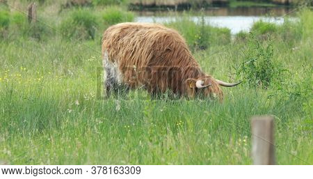 Highland cattle pasturing on green meadow in summer day. Farming concept.