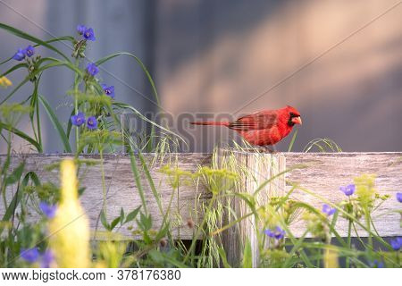 Cardinalis Cardinalis Perched On A Wooden Fence Post With Purple Wild Flowers In The Foreground And