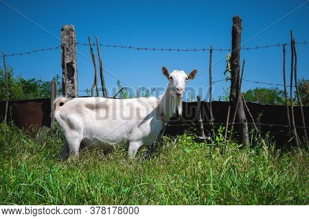 White Domestic Goats With Collars Graze In Green Grass In The Summer In The Countryside. The Concept