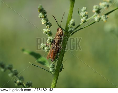 Close-up Of Field Grasshopper, Chorthippus Brunneus, On A Green Plant