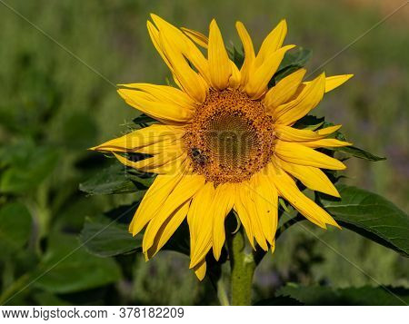 Close-up Of Sunflower, Helianthus Annuus, With Bee