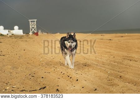 A Dog Of The Siberian Husky Breed Is Walking On The Sand At The Sea, Against The Backdrop Of A Cloud