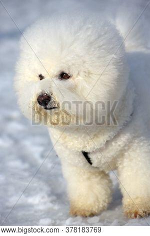 Bichon Frize Breed  White Color
