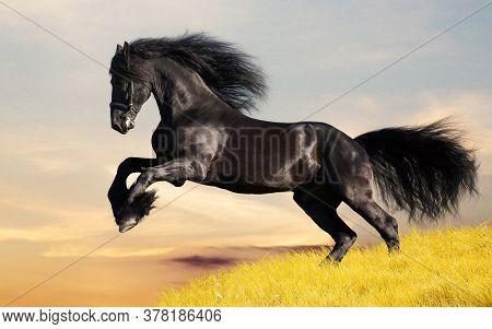 Dark bay stallion runing on spring meadow. Horse animal.