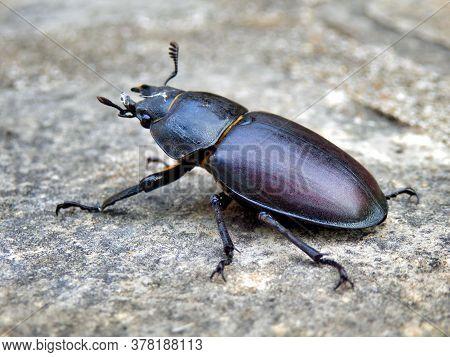 Close Up Of A Female Stag Beetle (lucanus Cervus)