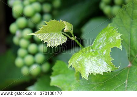Green Vineyard, View To Bunch Of Grapes Through Leaves. Unripe Grapevine, Winemaking Concept