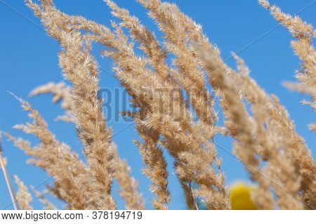 Common Reed, Dry Reed Against Blue Sky, Phragmites. Closeup