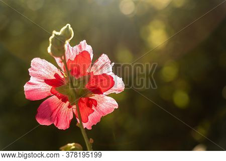 The Hollyhock Growing In A Garden On Sunny Day. Red Flower Of A Hollyhock Close Up On Green Blurring