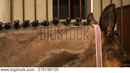Braided Mane Horse With Braids Tucked Using Gum As The Meet The Requirements Of The Competition